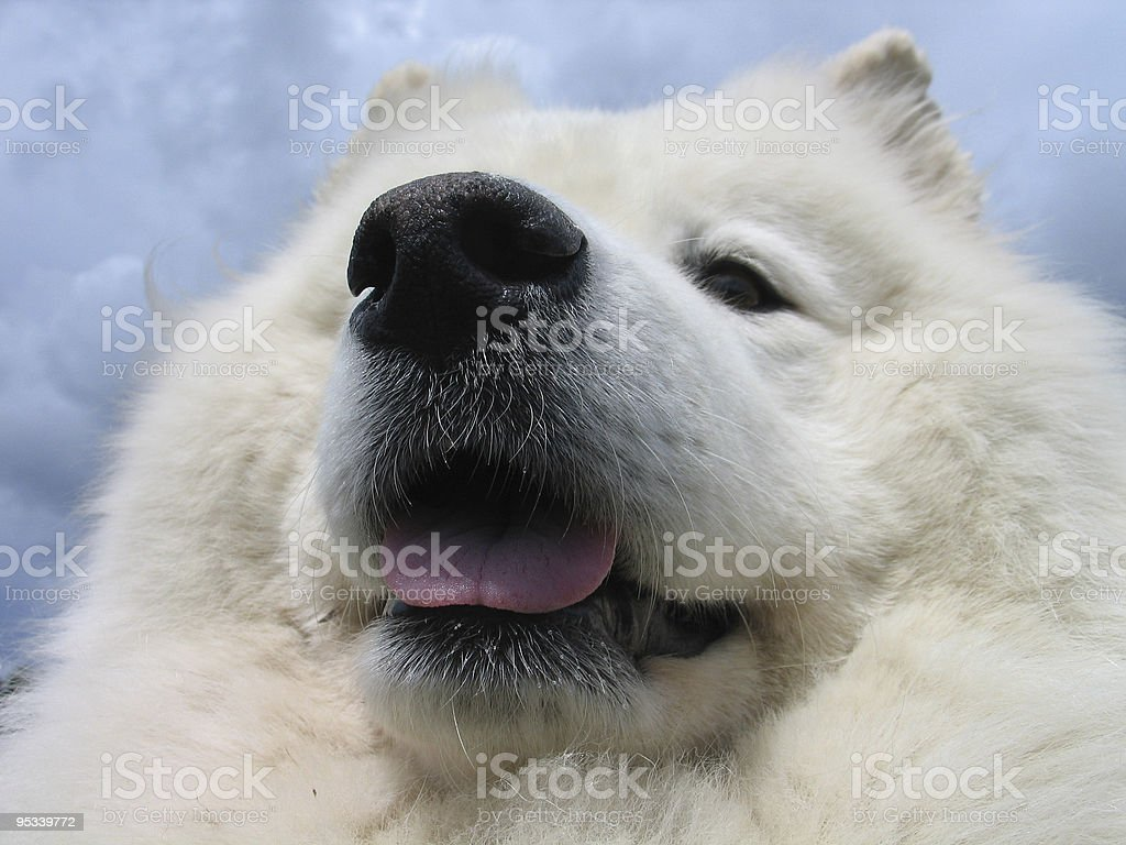 Samoyed dog in close up royalty-free stock photo