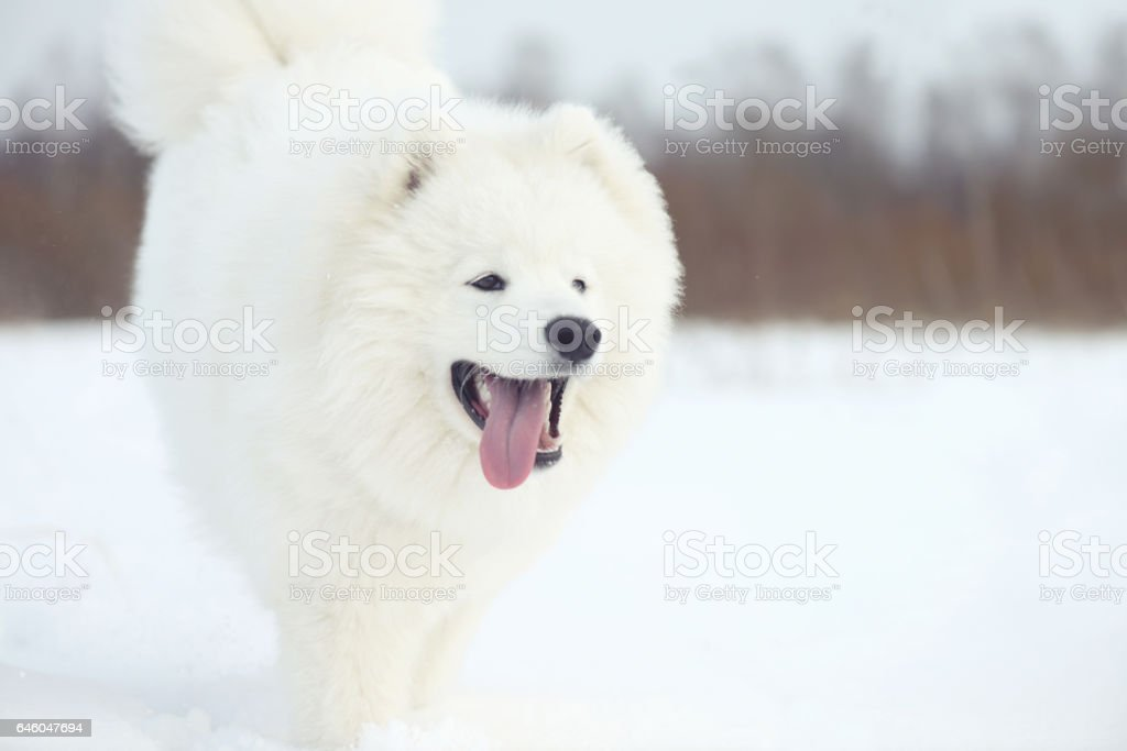 Samoyed dog in winter stock photo