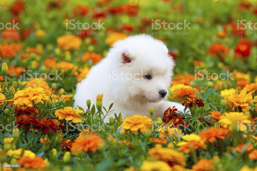 Samoyed dog royalty-free stock photo