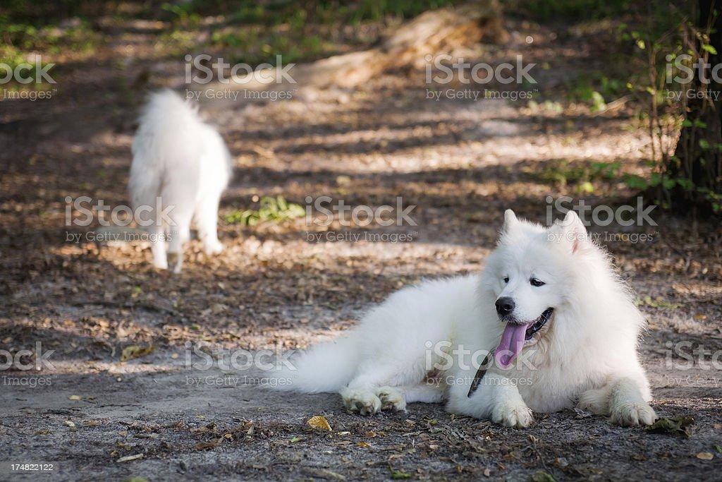 Samoyed Dogs royalty-free stock photo