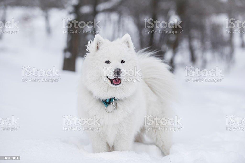 Samoyed in snow stock photo