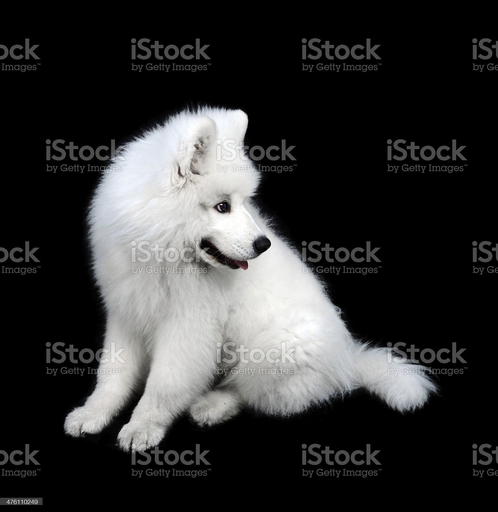 Samoyed puppy royalty-free stock photo