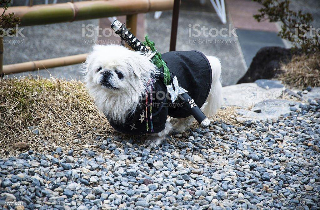 Samurai dog stock photo