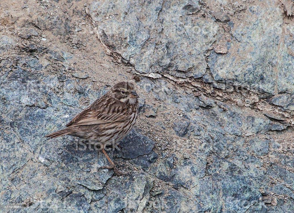 San Benito Sparrow stock photo