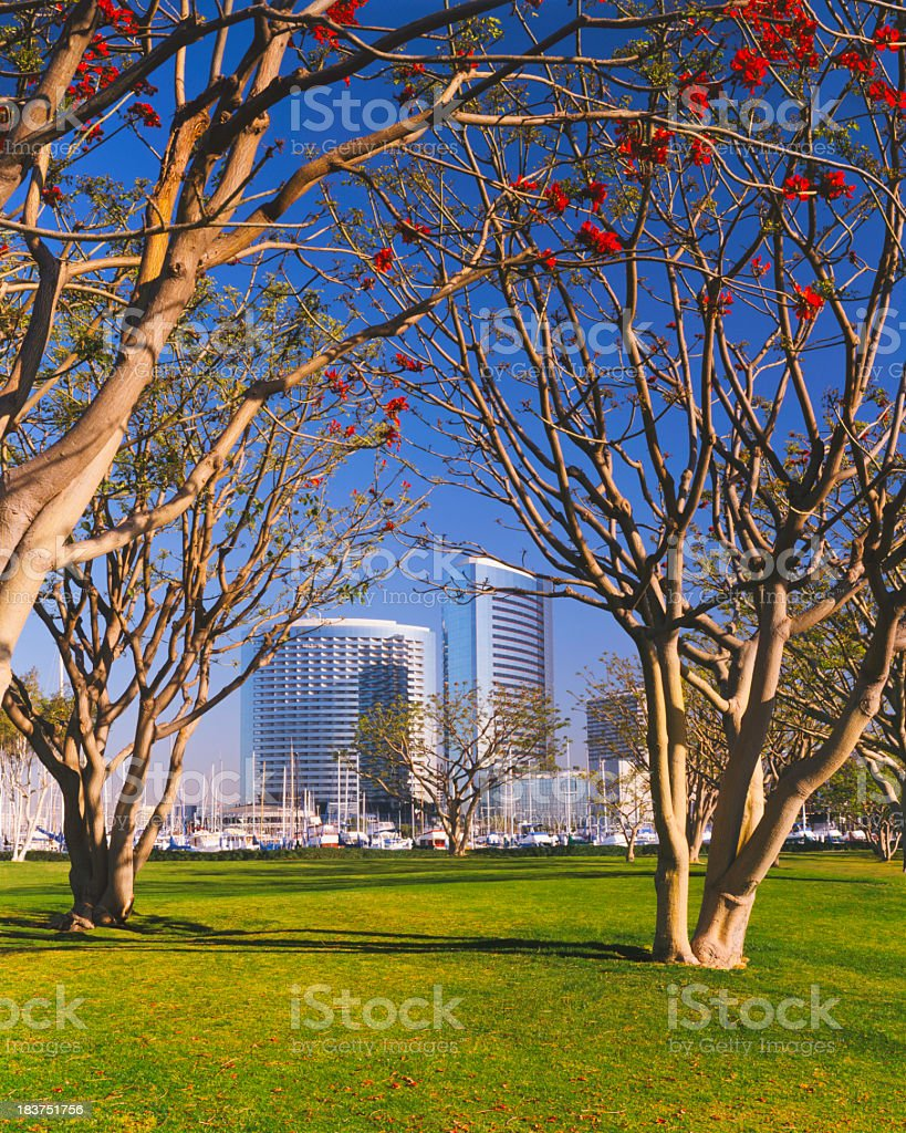 San Diego Skyline is framed by Coral Trees (P) royalty-free stock photo