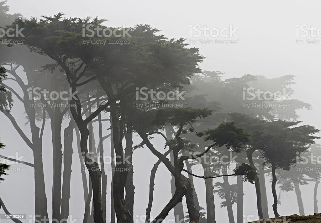 San Francisco: Cypress Trees in Fog at Land's End royalty-free stock photo