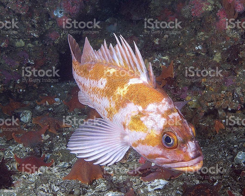 San Miguel Rockfish royalty-free stock photo