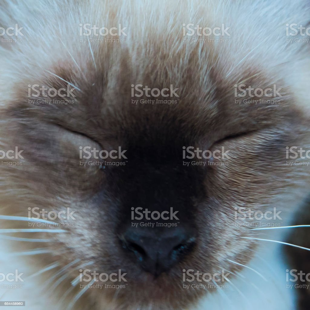 sand color cat extreme close up king kong like stock photo