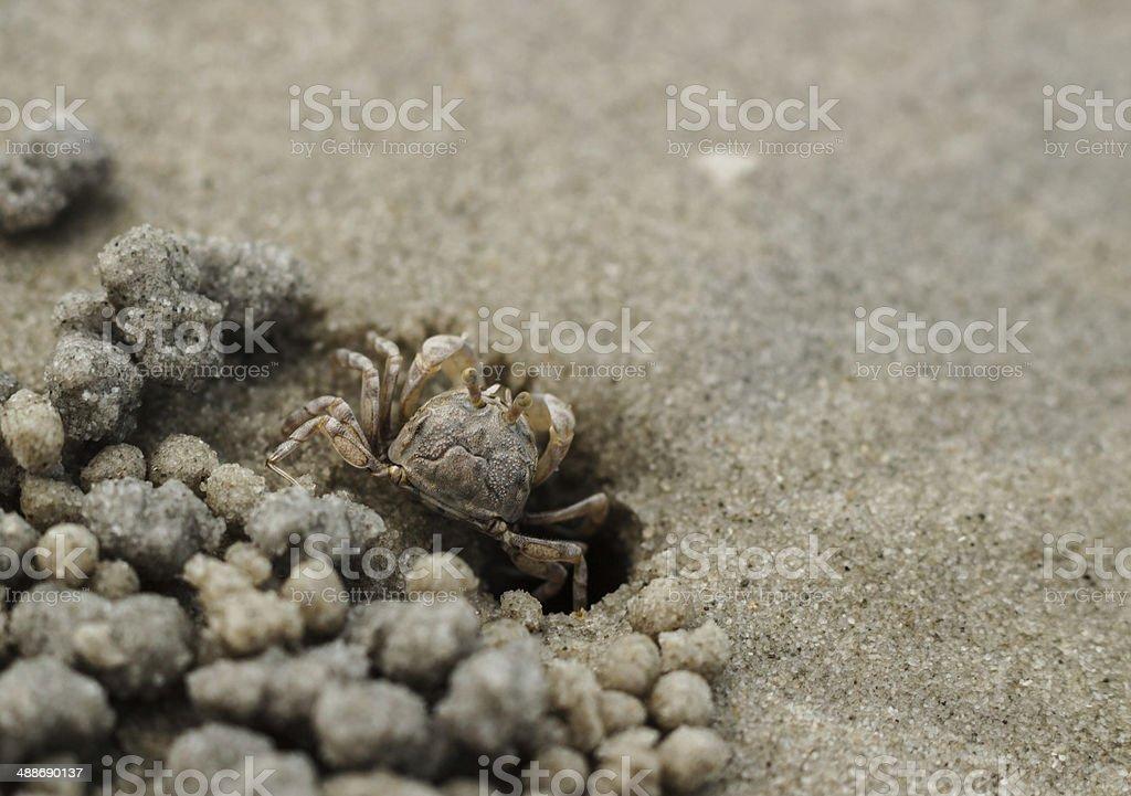 Sand crab on beach near the burrow stock photo