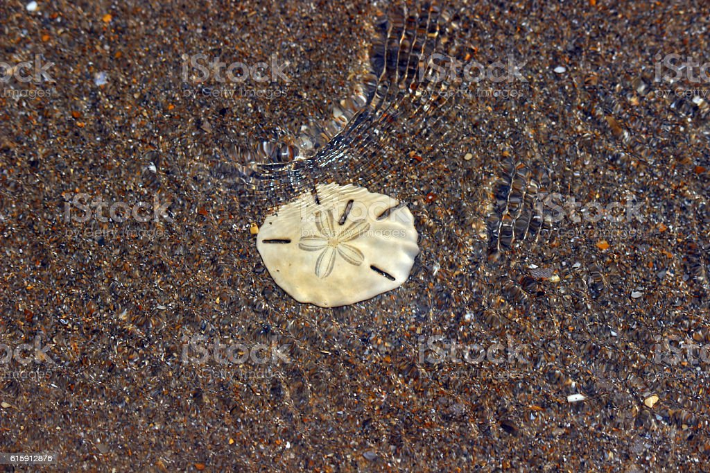 Sand Dollar in Coastal Waters stock photo