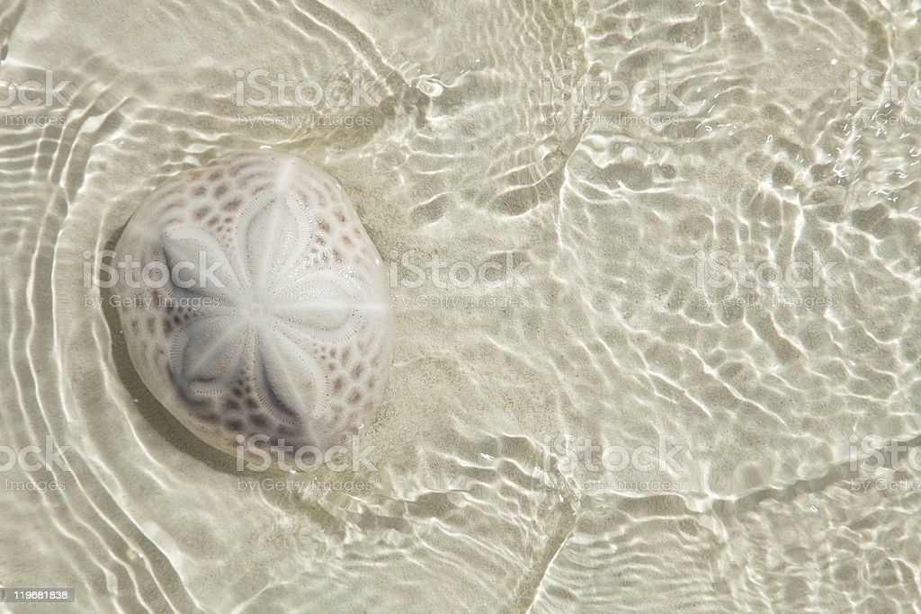 sand dollar in the sea with sun light , top view stock photo