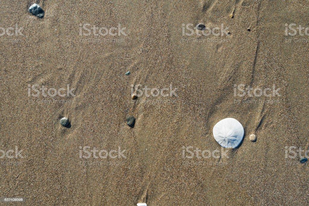 Sand Dollar on Wet Sand stock photo