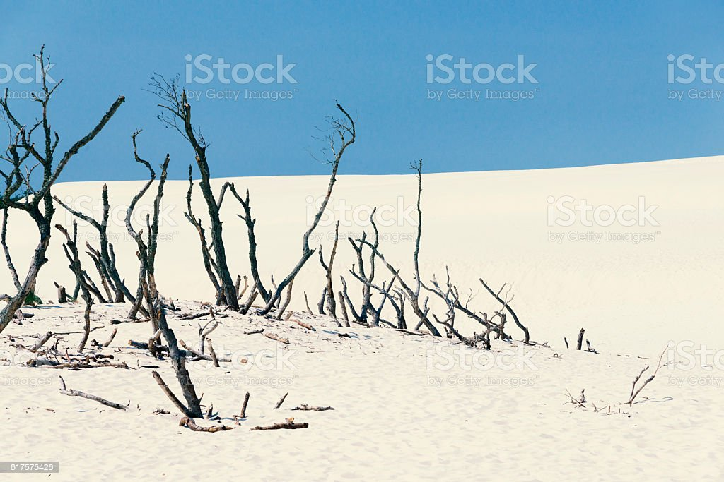 sand dune with dead trees stock photo