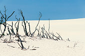 sand dune with dead trees