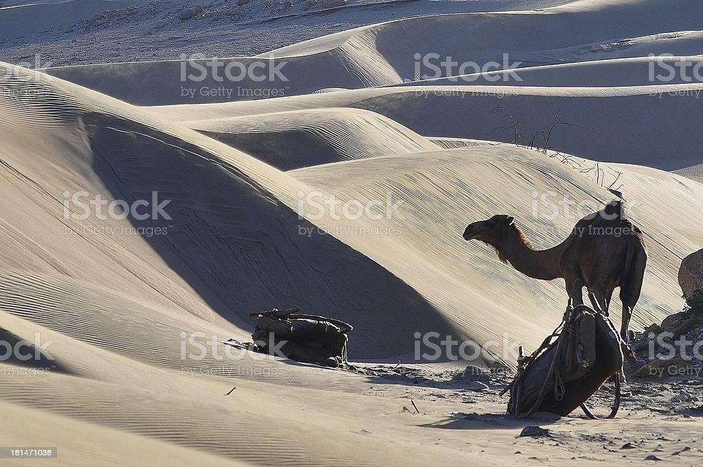 Sand Dunes Camel Silhouette royalty-free stock photo