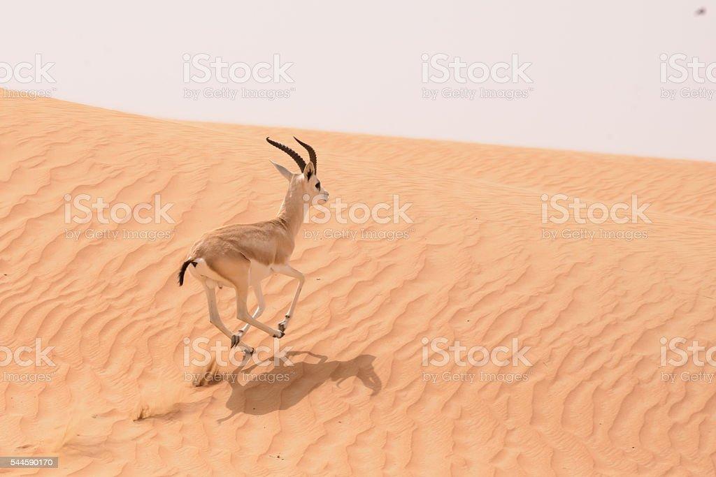 Sand gazelle, Dubai Desert Conservation Area, UAE stock photo
