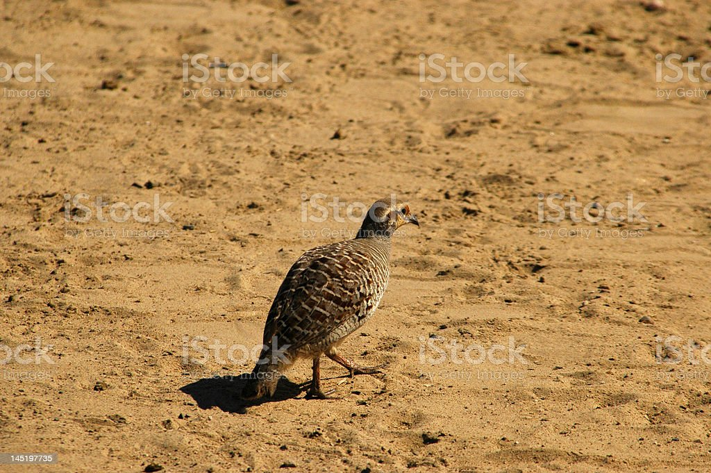 Sand Grouse stock photo