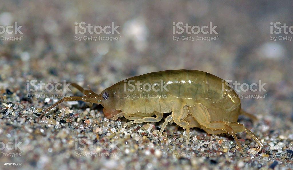 Sand Hopper (Talitrus saltator) stock photo