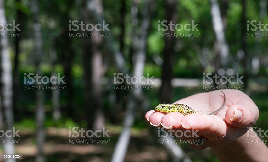 Sand lizard on the woman hand bokeh stock photo