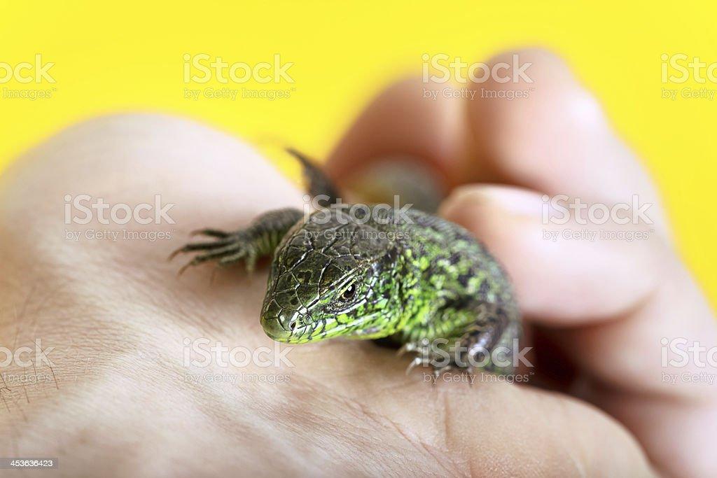 Sand Lizard on yellow stock photo