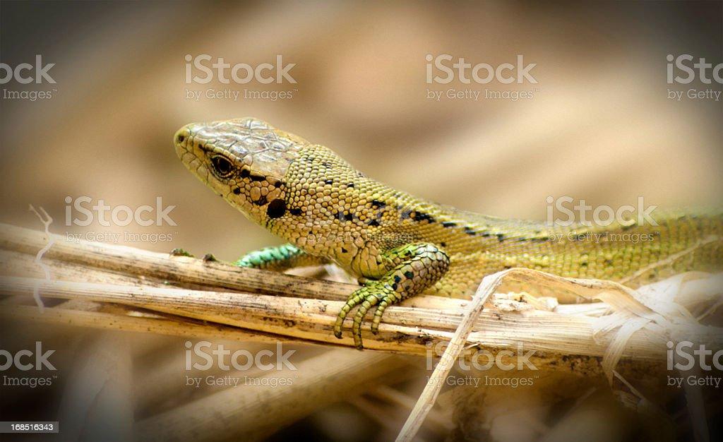 Sand lizard sitting in sun - wildlife shot stock photo