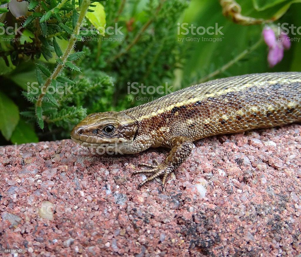 Sand Lizard taking a sun bath in the garden stock photo