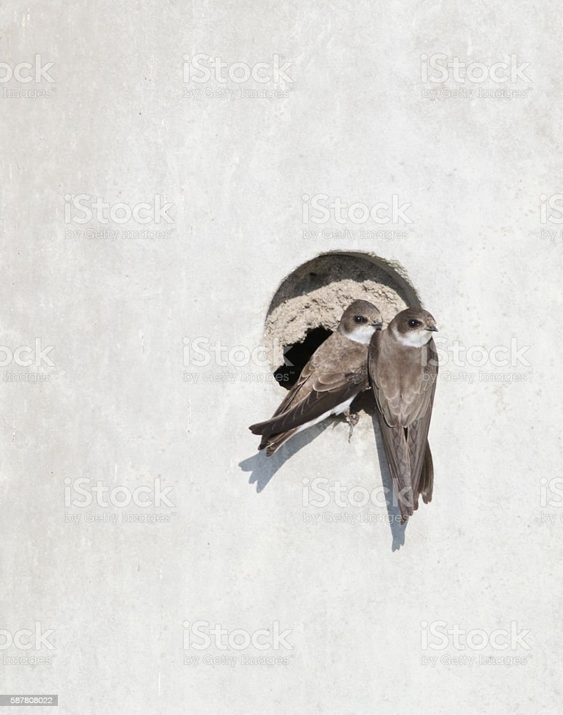 Sand Martin (Riparia riparia) by Nest stock photo