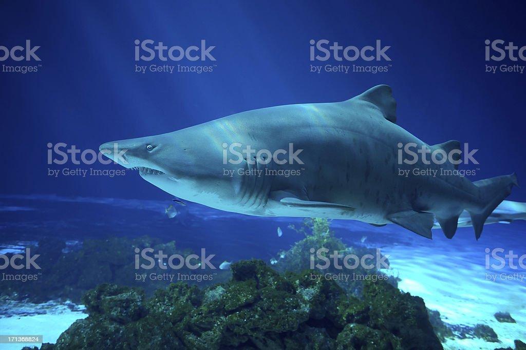 Sand Tiger Shark - Carcharias taurus stock photo