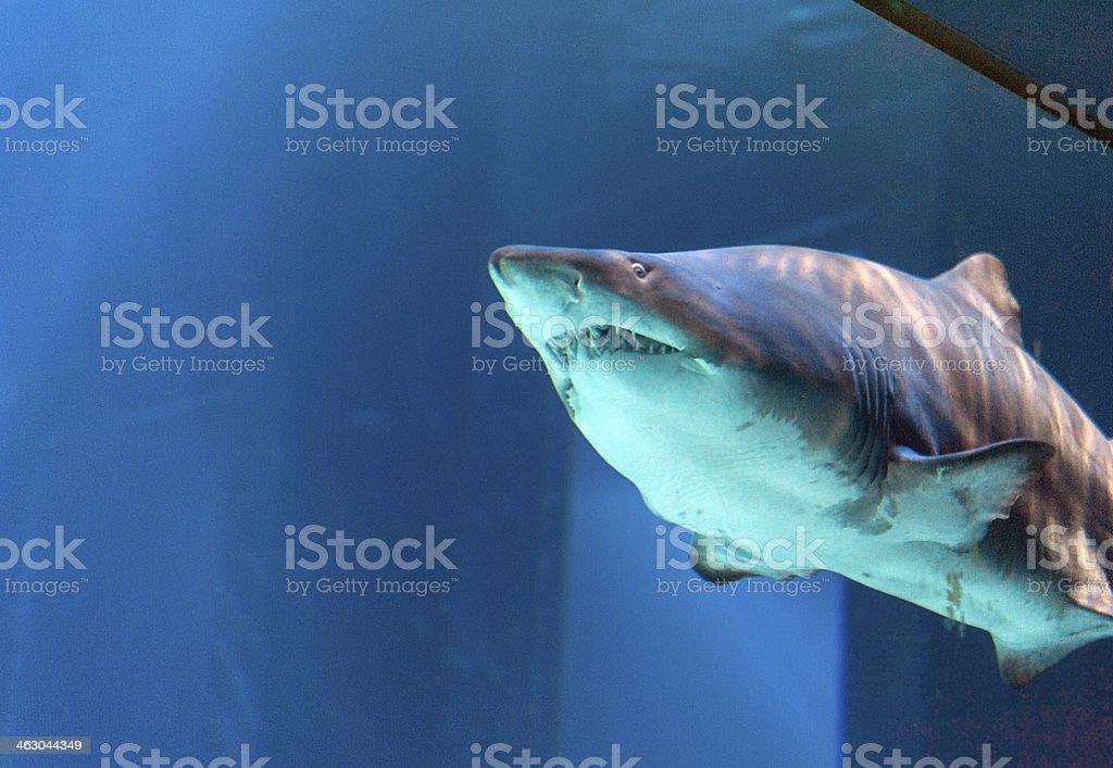 Sand tiger shark female stock photo