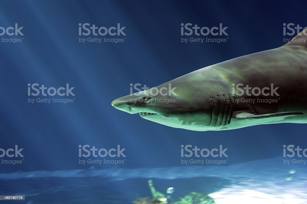 Sand tiger shark head stock photo
