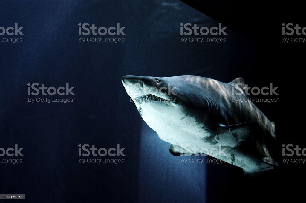 sand tiger shark in a fish tank stock photo