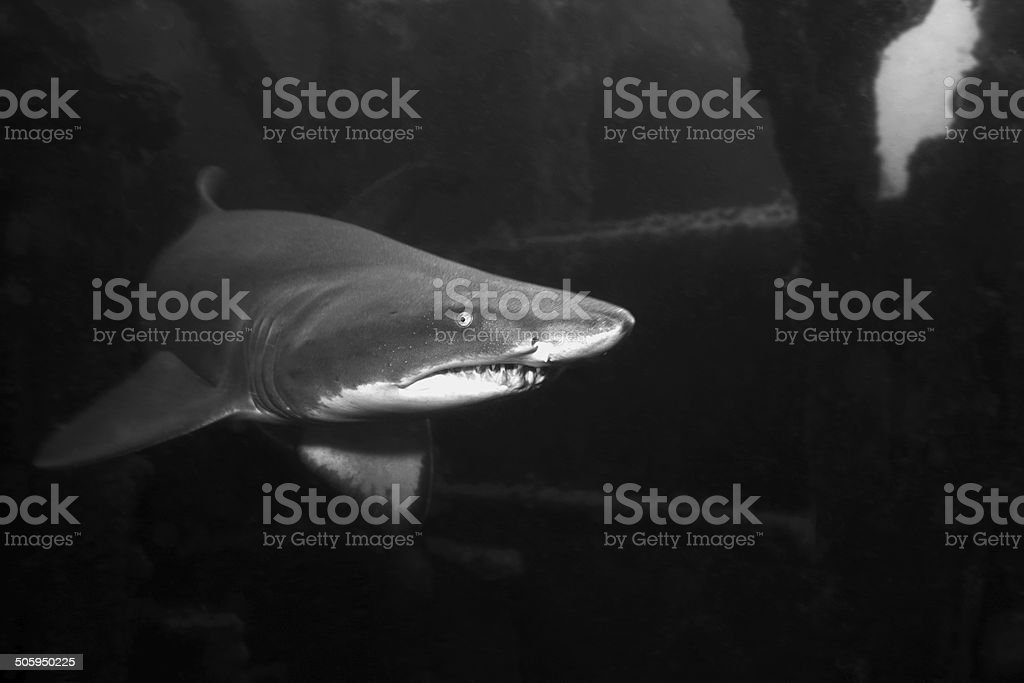 Sand Tiger Shark, North Carolina, USA stock photo