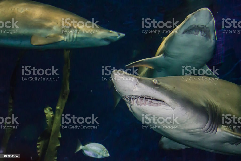 Sand Tiger Shark stock photo
