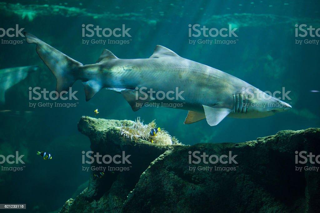 Sand tiger shark (Carcharias taurus) stock photo