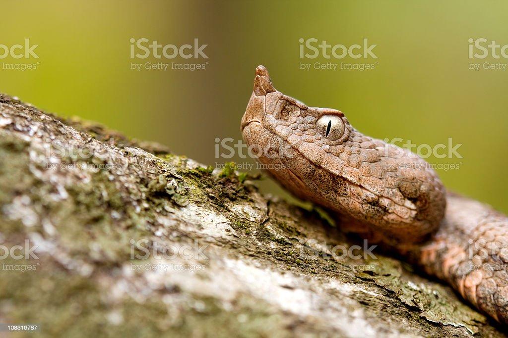 Sand viper stock photo