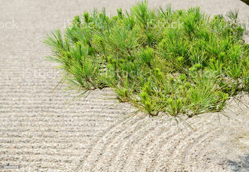 Sand    with pine tree  in Japan  garden stock photo