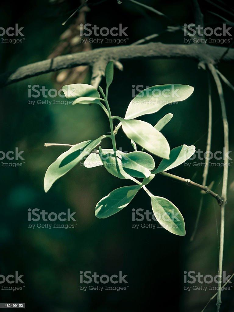 Sandalwood, Authority L., Sirium myrtifolium Roxb, Santalum album stock photo