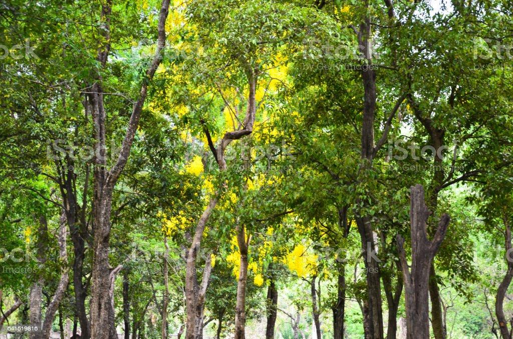 Sandalwood forest stock photo