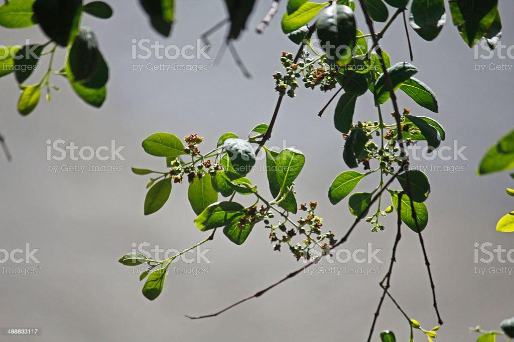 sandalwood tree flower stock photo