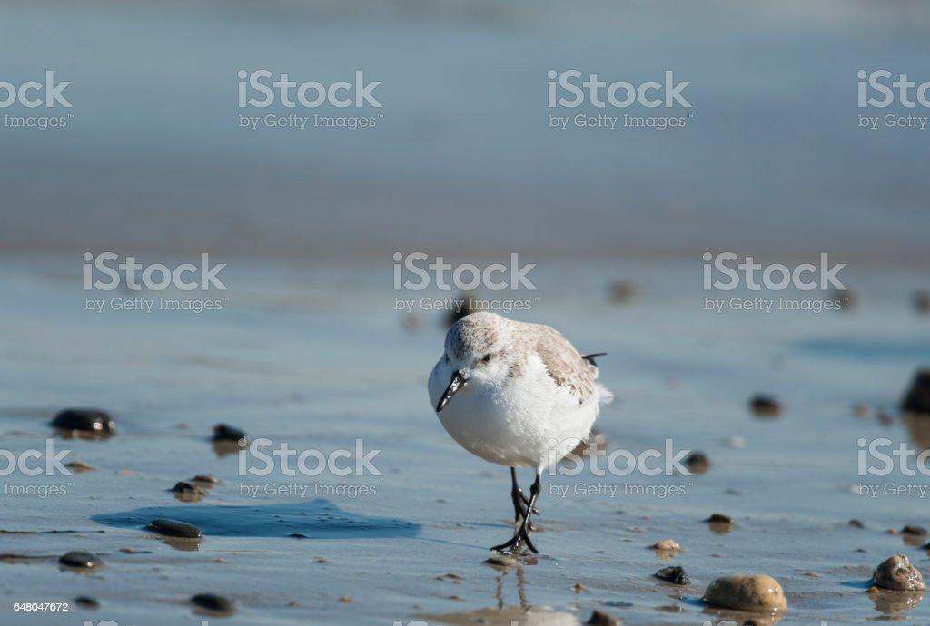 Sanderling low tide stock photo