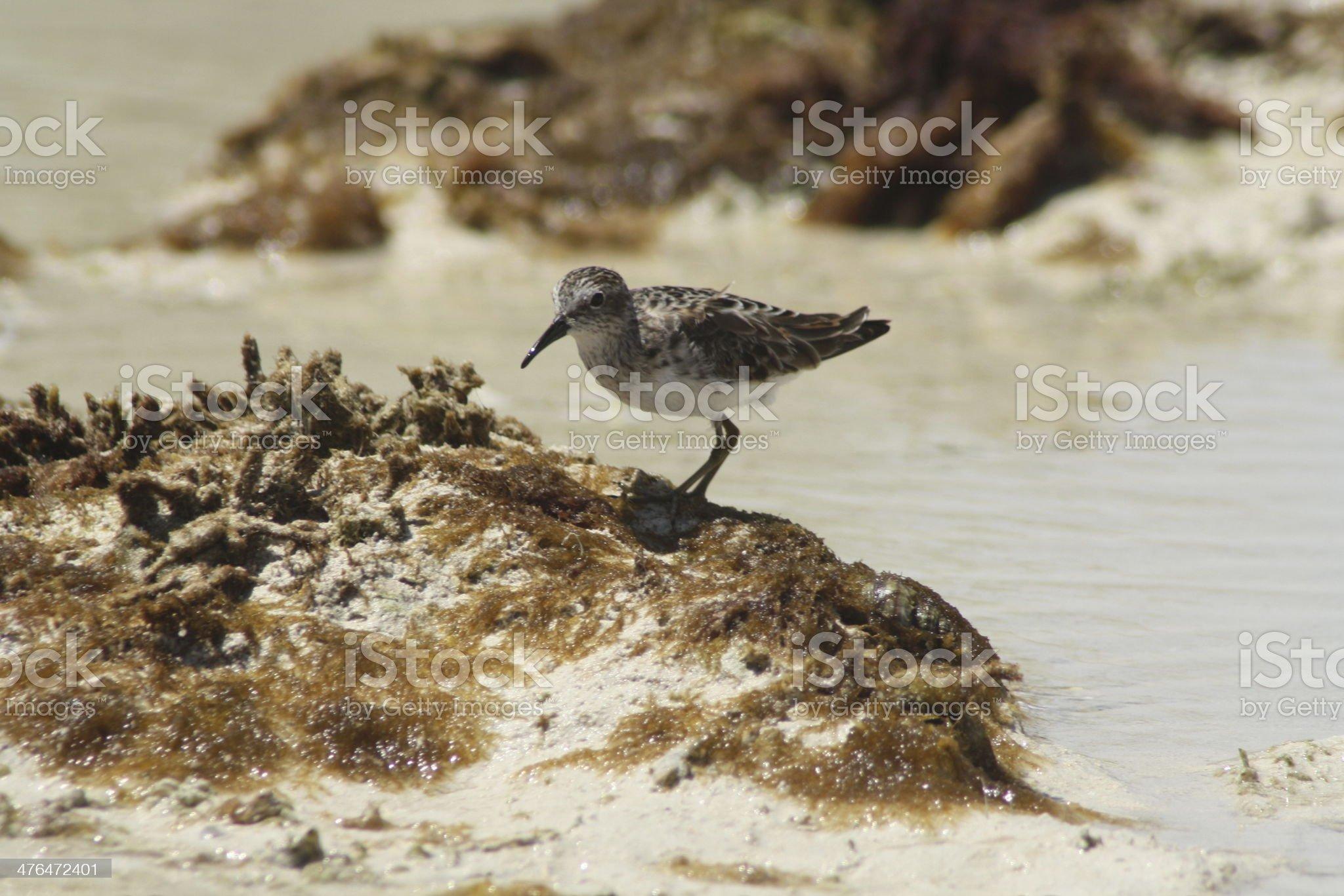 Sanderling royalty-free stock photo