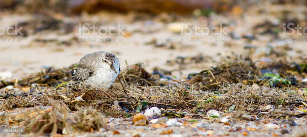 Sanderling stock photo