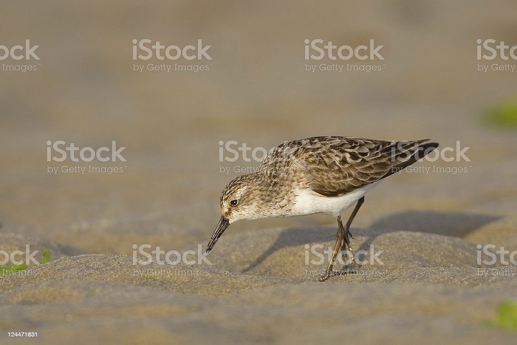 Sanderling Shorebird Foraging on a Sandy Beach stock photo