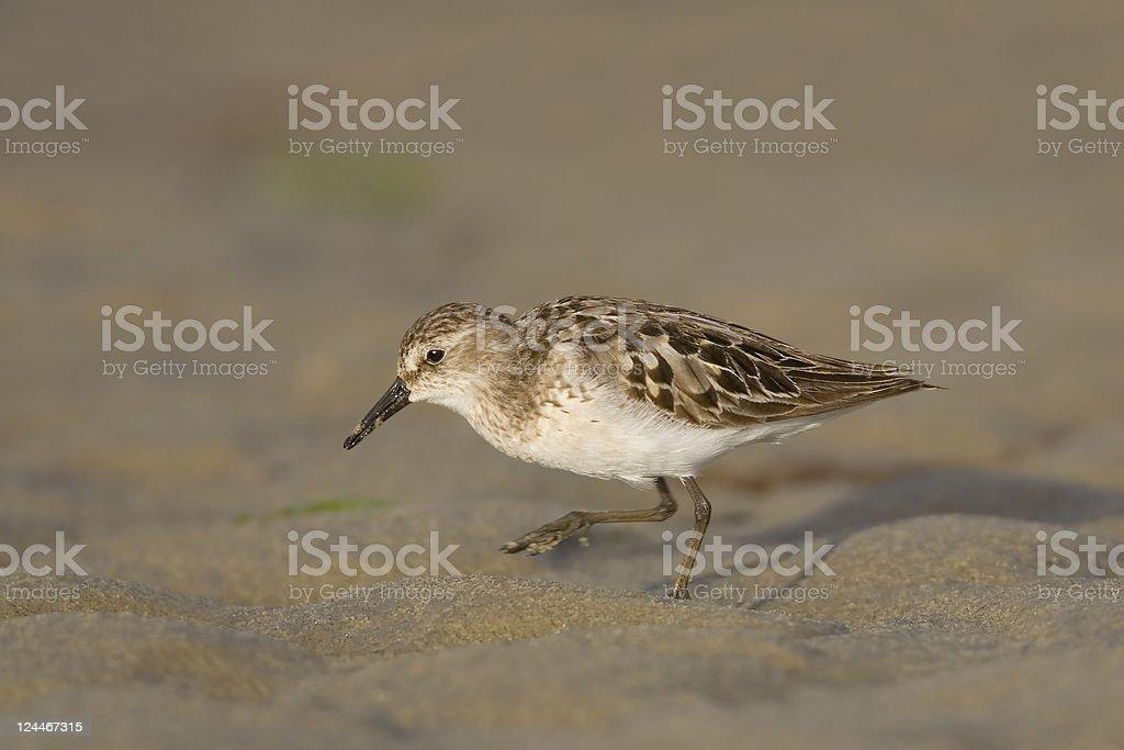 Sanderling Shorebird on Sandy Beach stock photo