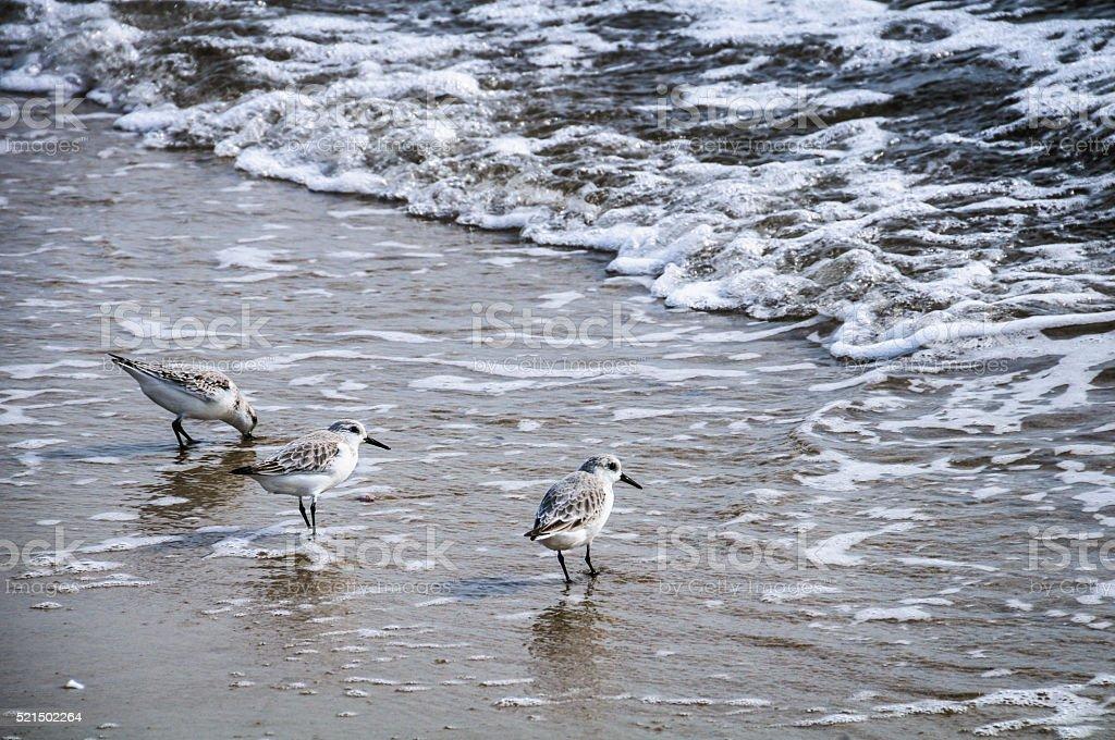 Sanderling Trio stock photo
