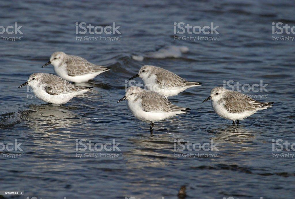 Sanderlings royalty-free stock photo