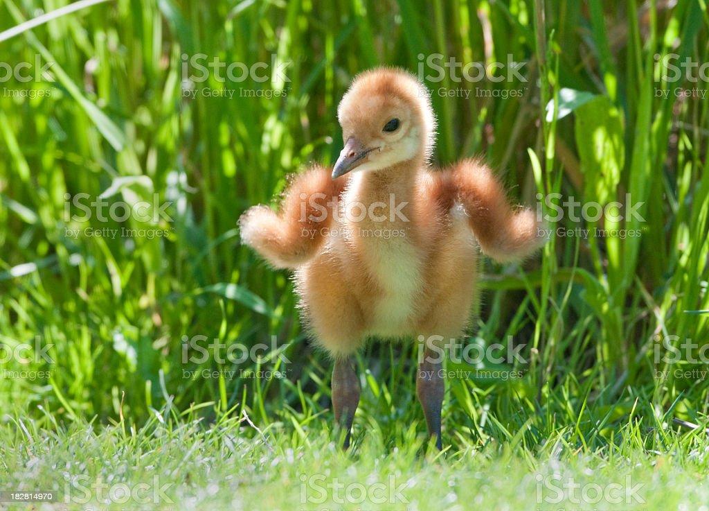 Sandhill Crane - 7 days Young Baby Chick stock photo
