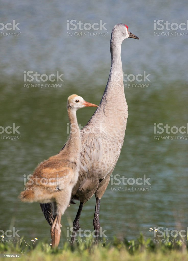Sandhill Crane adult and baby stock photo