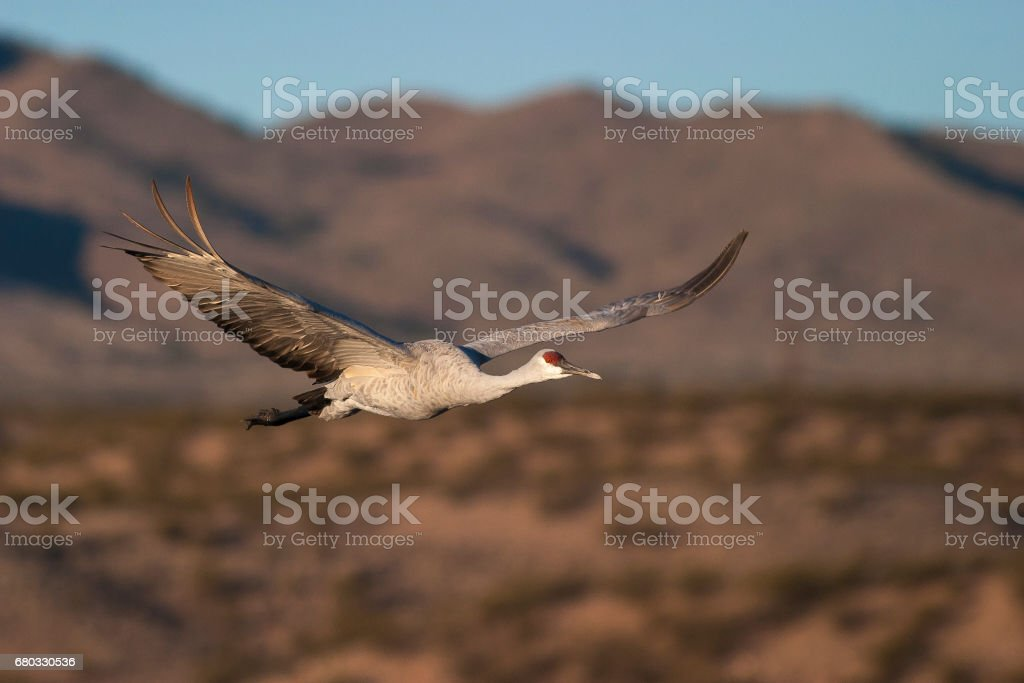Sandhill crane flying with blue sky and mountains in background stock photo