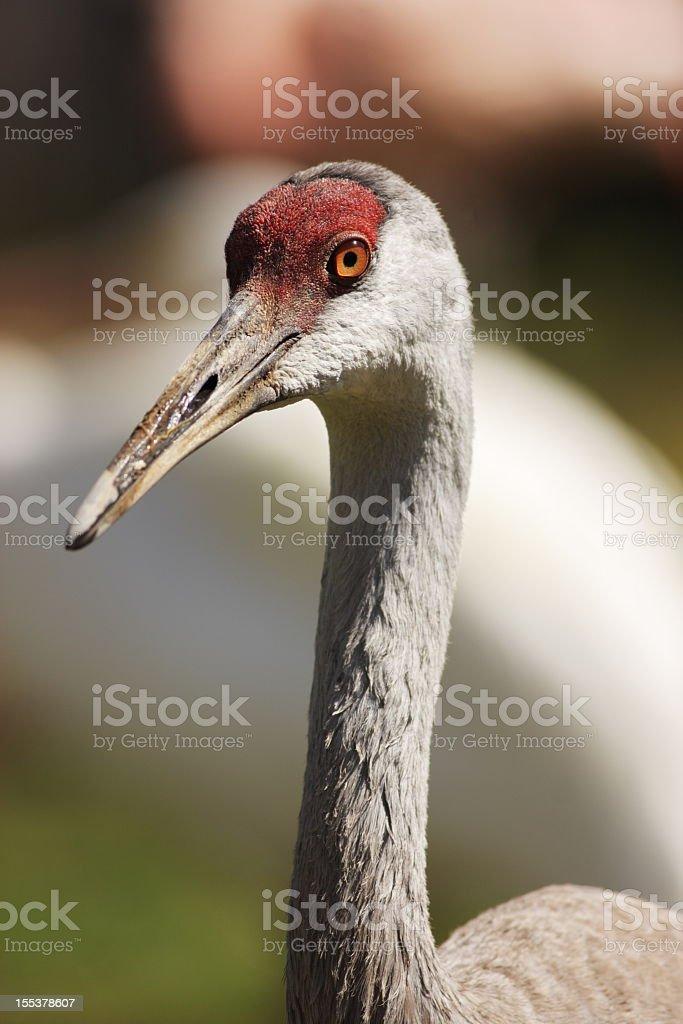 Sandhill Crane Grus canadensis Wildlife Bird stock photo